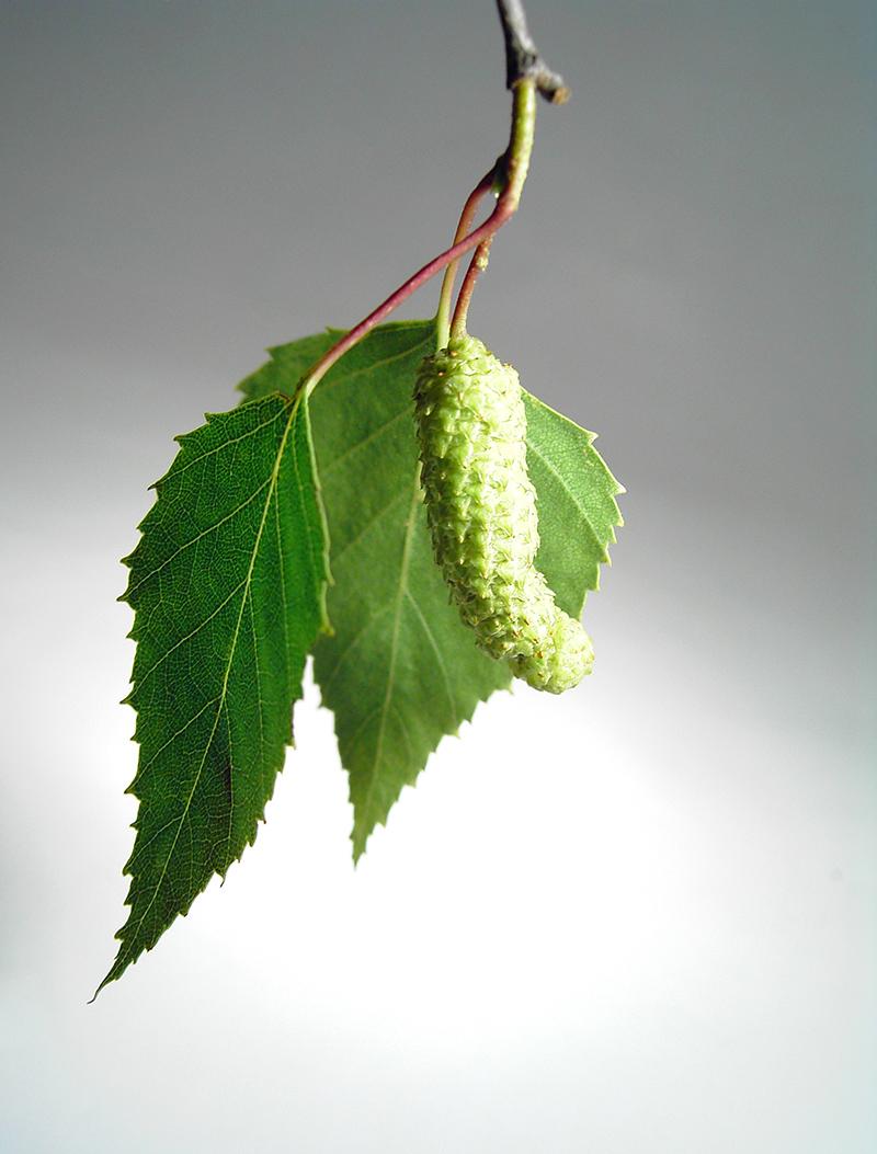 NAET behandeling allergie berkenblad